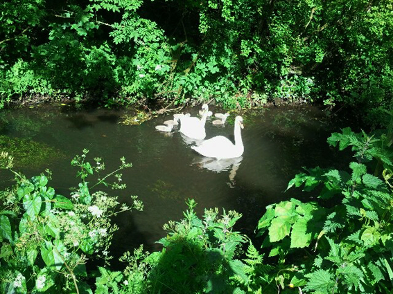 Swans on the Dalgan River Ballyhaunis
